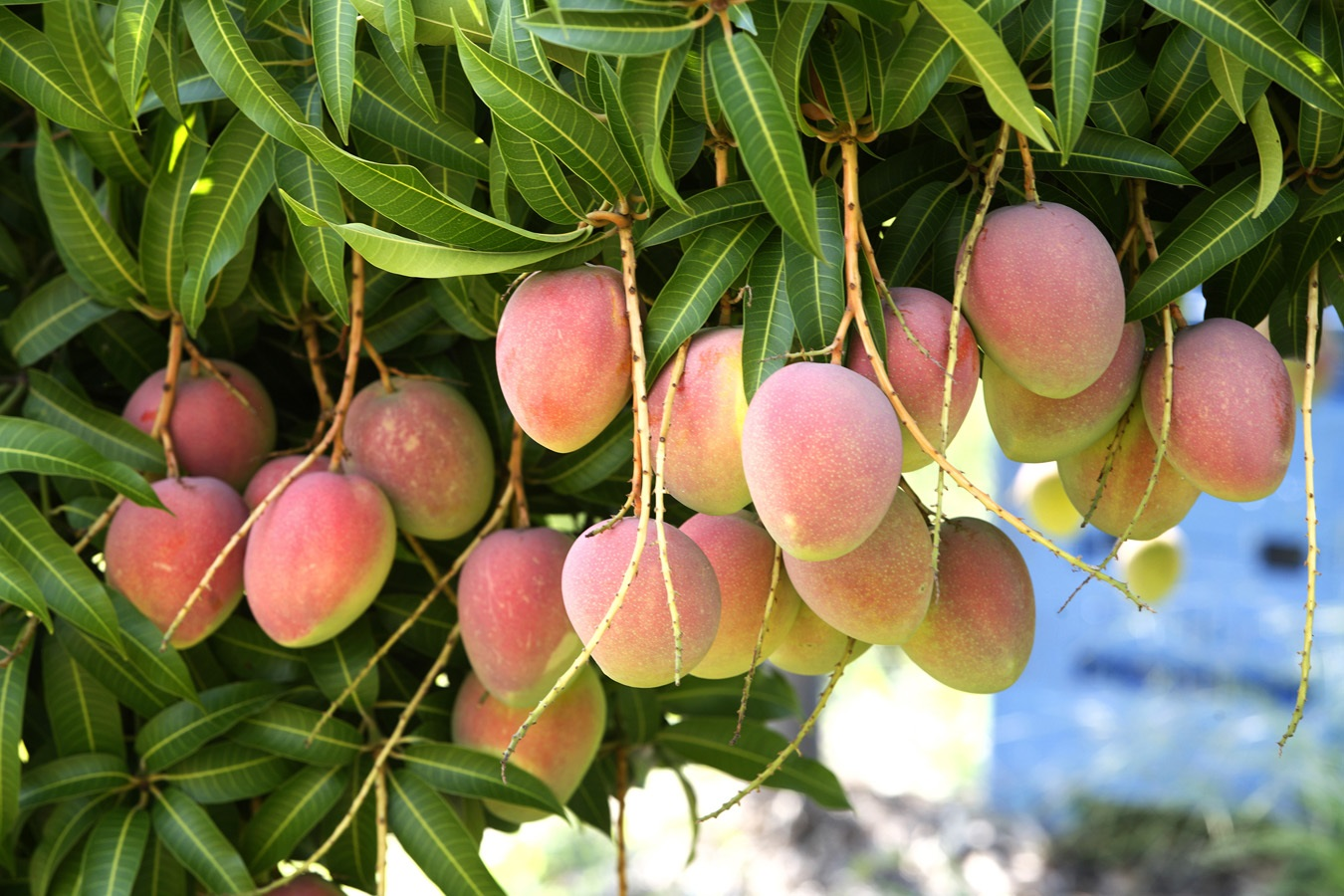 Domestication of Fruit Trees to Enhance Family Nutrition, Food Security, Environmental Conservation and Income Generation